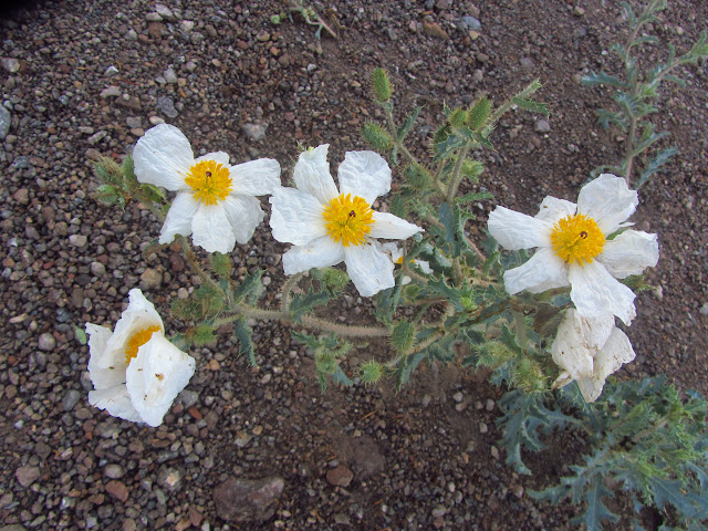 Matilija poppies in Utah