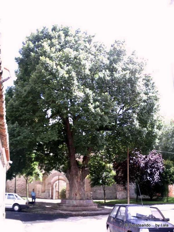 La Olma, árbol emblemático en Olmedo