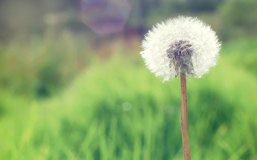 Countryside Dandelion Flower