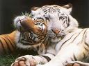 tigre branco e tigre comum