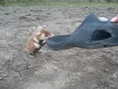 【動画】ハムスター vs ロシア人 ロシアの野生ハムスターは怒らせると凶暴で危険