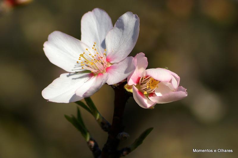 Flores de Pessegueiro em Janeiro