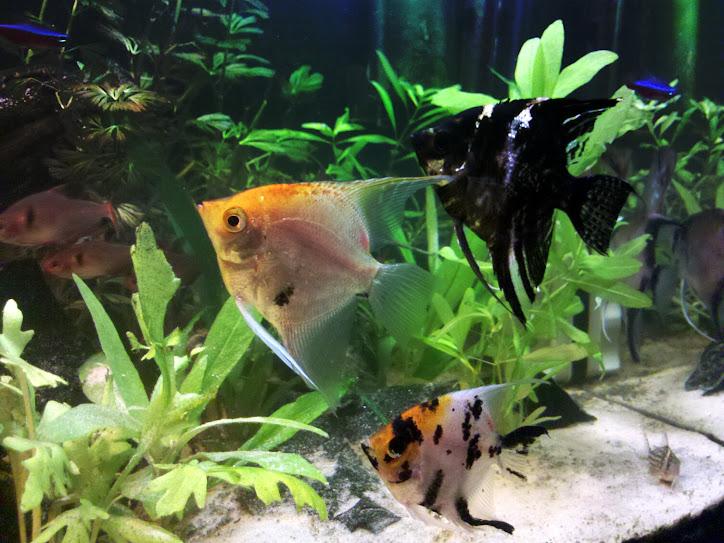 [Votação] 7º Concurso AquaPeixes de Fotografias -Tema Peixes Cardumeiros e Peixes em Grupo- IMG_20121223_160041