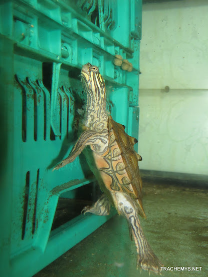 mes tortues (BK) - Page 11 IMG_2238