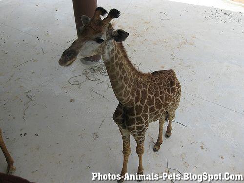 https://lh6.googleusercontent.com/-glnA7kMvka4/TXxmKR4QdII/AAAAAAAAAGw/RIDrS0OyhH8/s1600/Animal+pictures+_giraffe.jpg