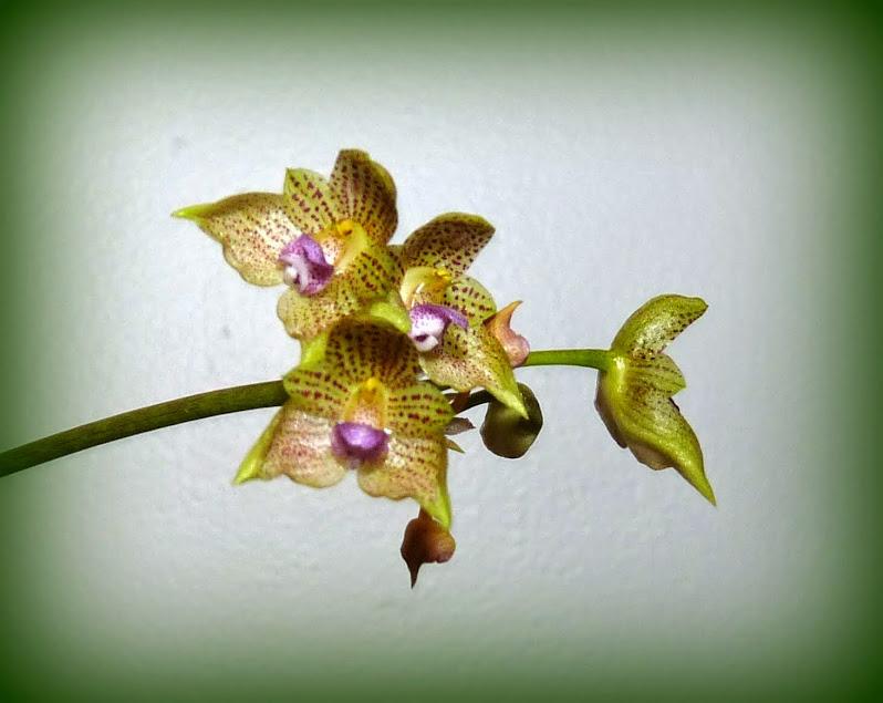 Bulbophyllum guttulatum P1420954