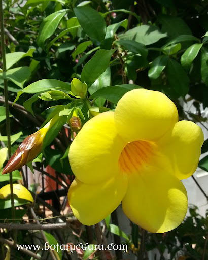 Allamanda cathartica, Golden Trumpet flower
