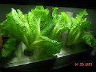 6 week Nevada summer crisp lettuce - harvesting - may harvest some heads tonight - staying very short!