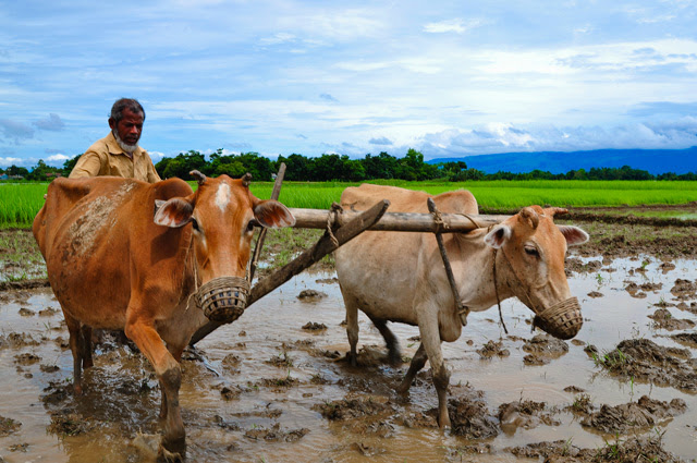 cultivation with cow