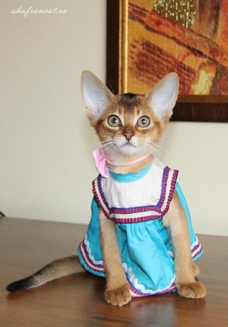 абиссинские котята харьков, фараби