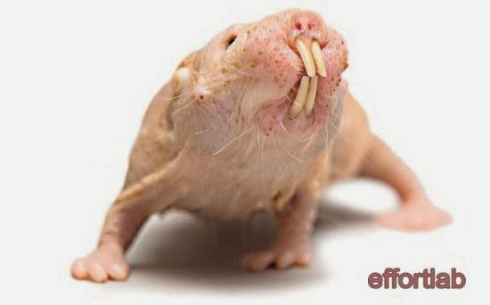 naked-mole-rat-heterocephalus-glaber