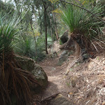 Grass trees along track near Berowra Creek (71476)