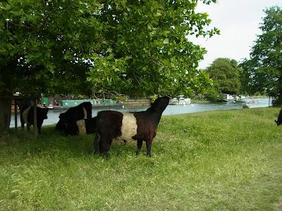 木の葉をはむ牛