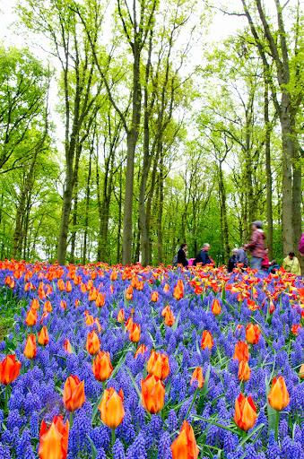 tulip_orange