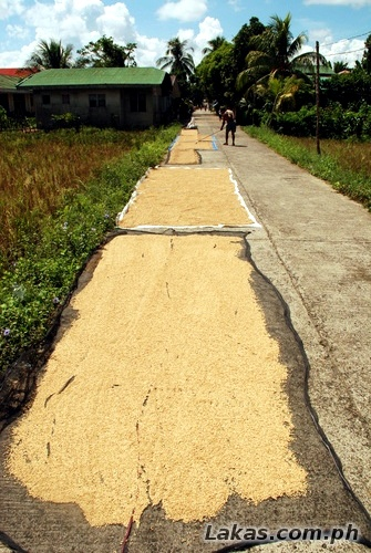 Drying the rice on the road