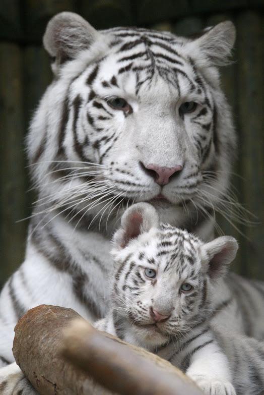 Baby Harimau Putih Dilahirkan