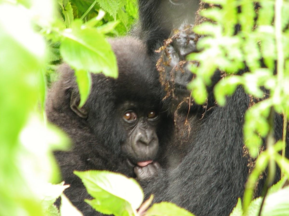 Gorilla mum and kids behind leaves