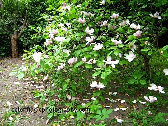 Small magnolia tree-Saucer magnolia