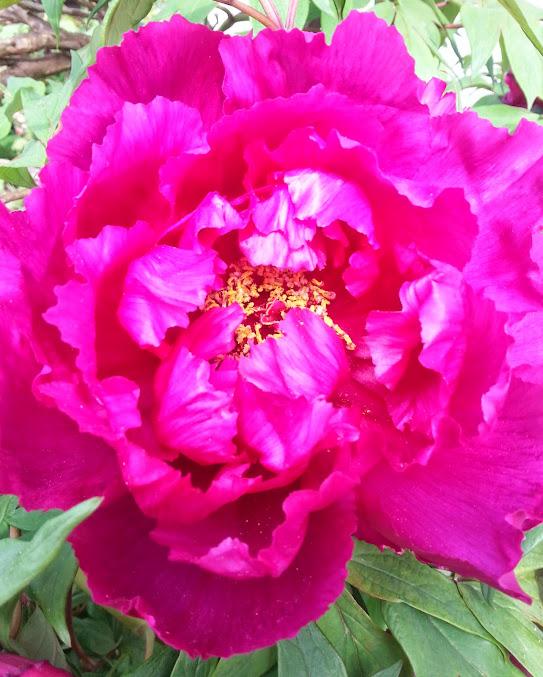 floraisons du mois - Page 4 20140425_162733-1