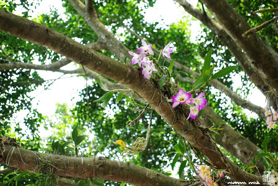 原來這大樹上被培植了很多品種的蘭花