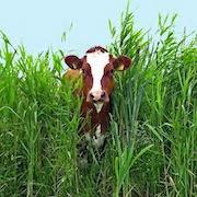 К чему снится разъяренная корова
