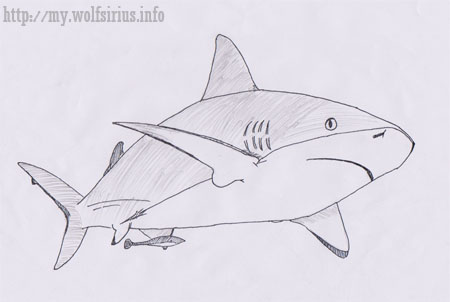 Caribbean Reef Shark Drawing