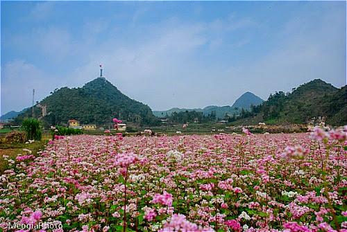 Hoa tam giac mach tai cac dia diem o ha giang2 Hoa tam giác mạch tại một số nơi ở Hà Giang