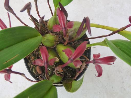 Maxillaria calantha P1370115