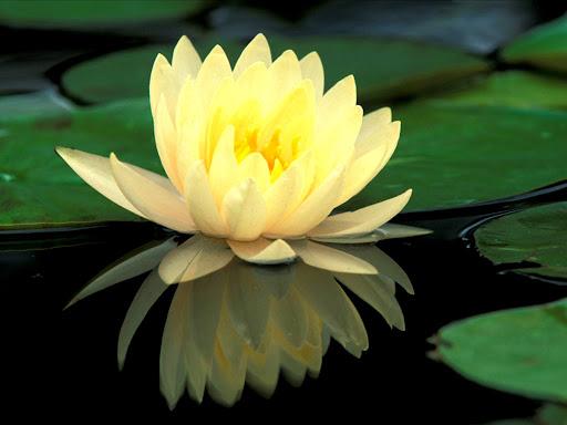 Lotus_flower.jpg