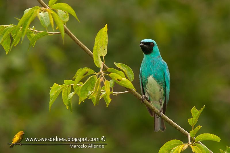Tersina (Swallow-tanager)