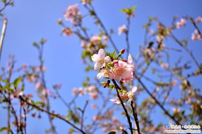 芬園花卉生產休憩園區大島櫻