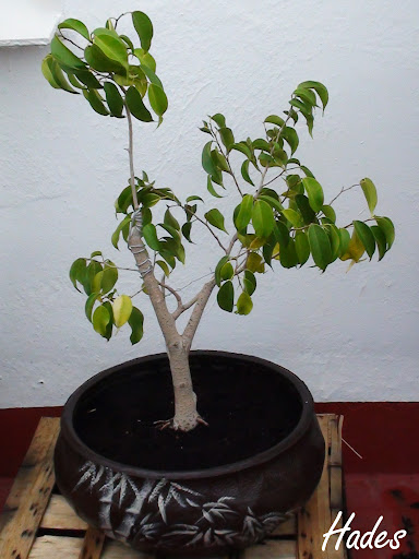 Ayuda para empezar con mi primer arbustito de ficus - Página 7 DSC05950%2520copia