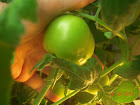 9 week container choice tomato - biggest 3 of 7 sizeable fruit so far