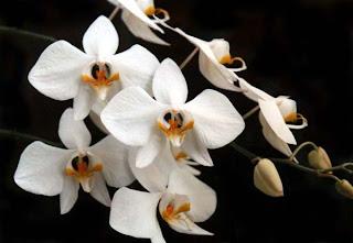 Bunga Anggrek , Orchid Flower