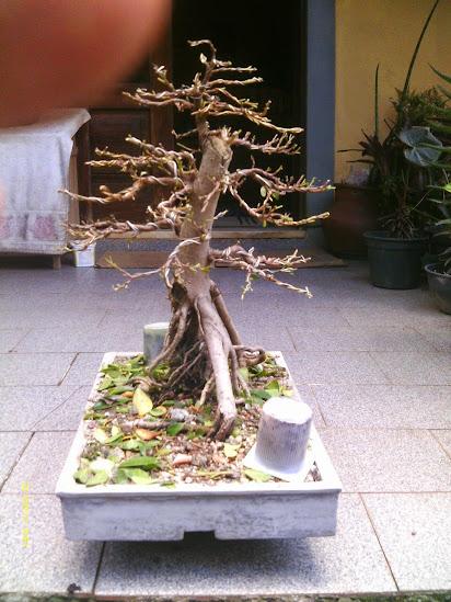 Ficus Microcarpa var. Indica... - Página 2 IMAG0299