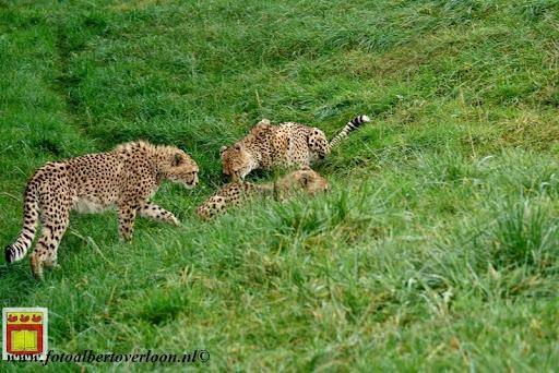 cheetahs vieren hun eerste verjaardag Zoo Parc Overloon (17) 11-11-2012.JPG