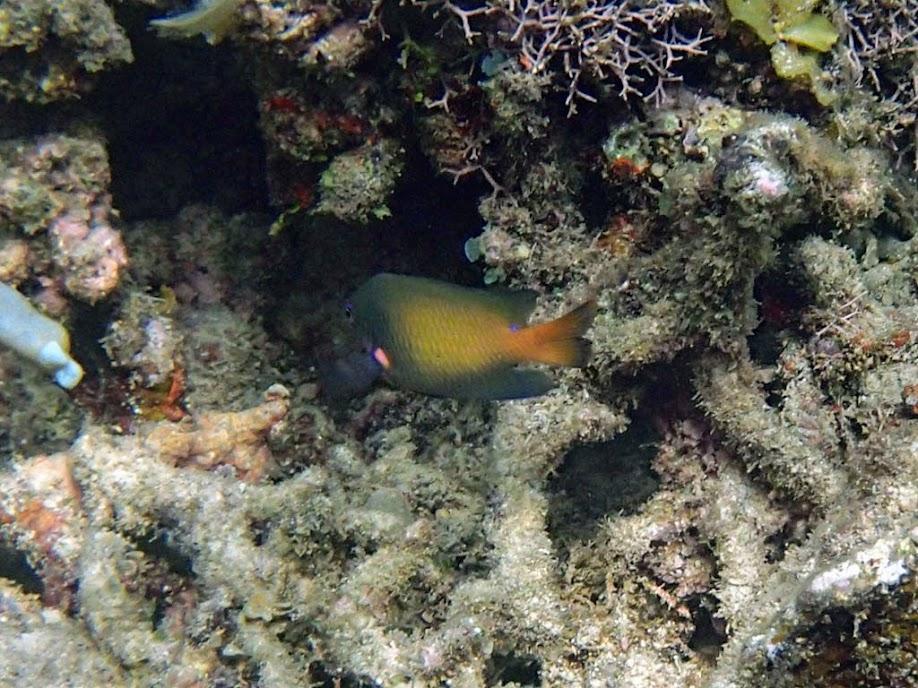 Pomacentrus grammorhynchus (Bluespot Damselfish), El Nido, Palawan, Philippines.