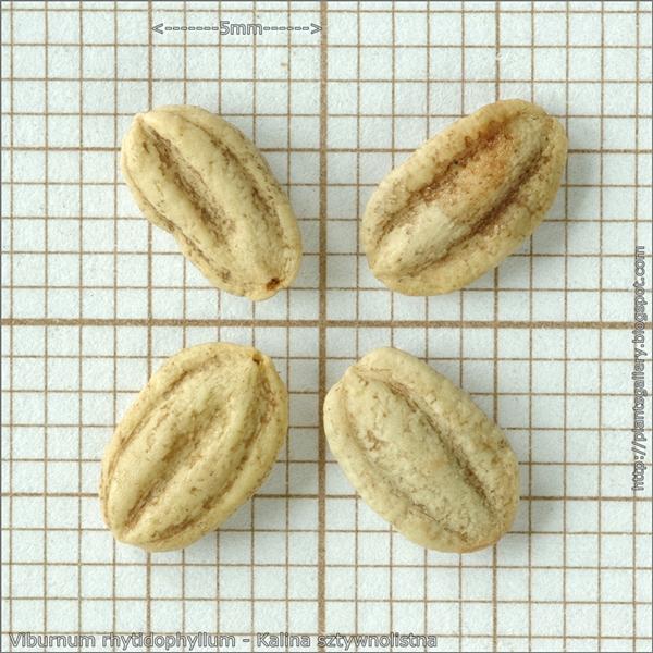 Viburnum rhytidophyllum seeds - Kalina sztywnolistna nasiona