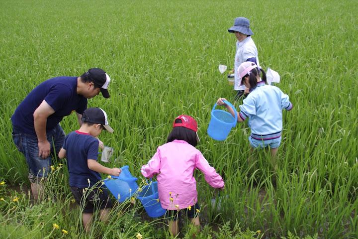 有機栽培田んぼの生きもの・みずすまし