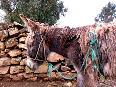 Donkey on the Isla del Sol on Lake Titicaca in Bolivia
