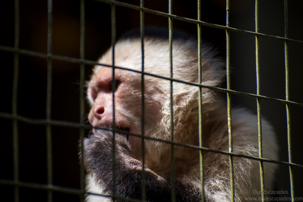 A white-faced monkey