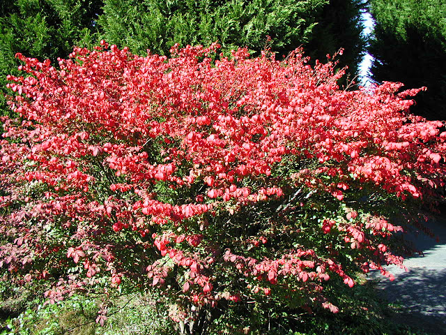 Burning Bush foliage in autumn - Picture courtesy of Wikimedia Commons
