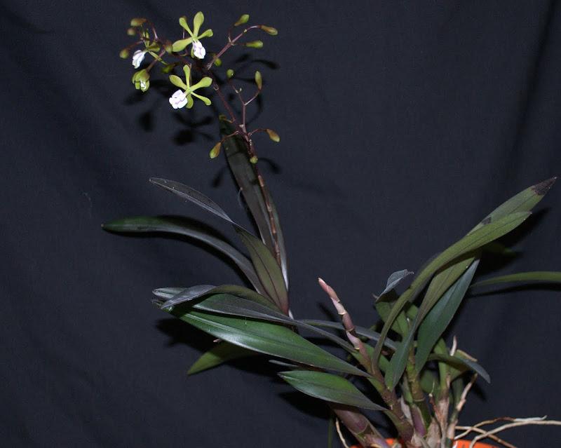 Epidendrum paniculatum  DSC_0005