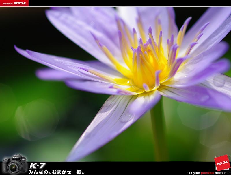 陽台小蓮花