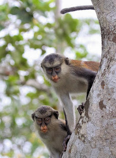 Lekki Conservation Centre Mona Monkey