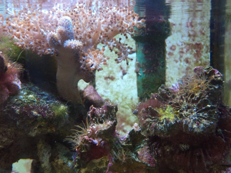 Capnella imbricata (Kenya Tree Coral) DSC00118