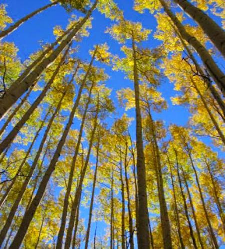 Poplar And Aspen Tree Lore