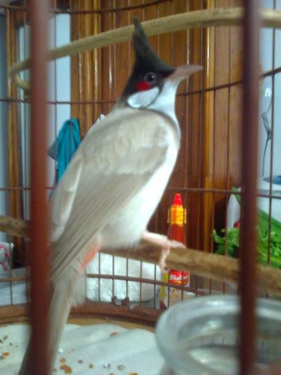 Ban chim chao mao xam trang