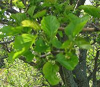 mulberry closeup