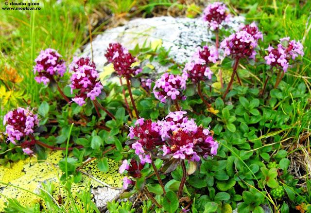 Cimbrişor de munte (Thymus serpyllum)